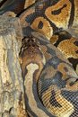 Ball python snake .close up snake skin Royalty Free Stock Photo