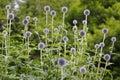 Ballthistle,Echinops, blossom, bud Royalty Free Stock Photo