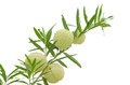 Ballon flower gomphocarpus physocarpus isolated on white backg background Royalty Free Stock Photo