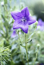 Balloon flower close up of a beautiful Stock Photography