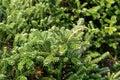 Balsam fir, abies balsamea Royalty Free Stock Photo