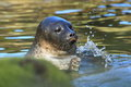 Baltic ringed seal Royalty Free Stock Photo