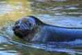 Baltic ringed seal Royalty Free Stock Photo