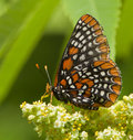 Baltimore Checkerspot Butterfly Stock Images
