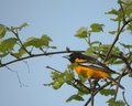 Baltimore Oriole   Royalty-vrije Stock Foto