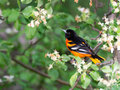 Baltimore Oriole in apple blossoms Royalty Free Stock Photo