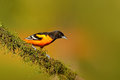 Baltimore Oriole, Icterus galbula, sitting on the orange and green moss branch. Tropic bird in the nature habitat. Widlife in Cost Royalty Free Stock Photo