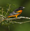 Baltimore oriole male icterus galbula perched on a branch in a costa rican rainforest the icterus galbula is a Stock Photos