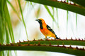 Baltimore oriole this species is very local to the yucatan peninsula Stock Photo