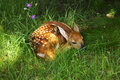 Bambi little deer in the wild nature summer day grass greens and flower Royalty Free Stock Images