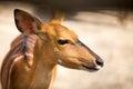 Bambi portrait close up of beautiful Royalty Free Stock Photo