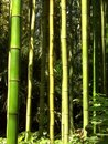 Bamboo 09 Stock Photography