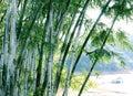 Bamboo зеленый вал Стоковая Фотография RF