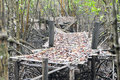 Bamboo bridge collapsed in the mangrove forest rayong thailand Stock Images