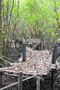 Bamboo bridge collapsed in the mangrove forest rayong thailand Royalty Free Stock Photo