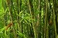 Bamboo Bushes Royalty Free Stock Photo