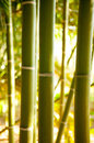 Bamboo cane field with selective focus tropical Royalty Free Stock Photo