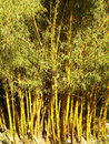 Bamboo close up tree background Royalty Free Stock Photography