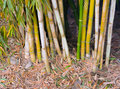 Bamboo close view of forest Stock Image