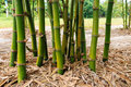 Bamboo clump in garden rayong province thailand Stock Image