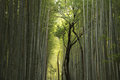 Bamboo forest arashiyama in kyoto japan Stock Images