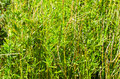 Bamboo forest background texture with young green shoots Royalty Free Stock Image