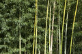 Bamboo forest beautiful trees at a buddhist temple Stock Images