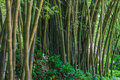 Bamboo Forest - Botanic Garden Rio de Janeiro, Brazil
