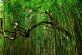 Bamboo forest in east maui island hawaii Stock Image