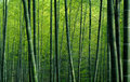 Bamboo forest green background image Stock Photo