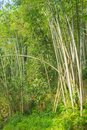 Bamboo forest, green bamboo grove in morning sunlight, Sulawesi, Indonesia.