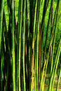 Bamboo forest green in china Royalty Free Stock Photo