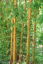 Bamboo forest green and dense Royalty Free Stock Images