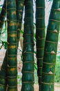 Bamboo forest with green stems Royalty Free Stock Photos