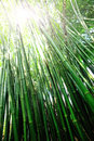 Bamboo forest green in sunshine Stock Image