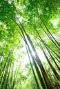 Bamboo forest green in sunshine Royalty Free Stock Photo