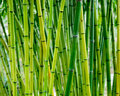 Bamboo forest. Green and vibrant bamboo forest in asia Royalty Free Stock Photo