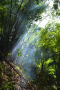 Bamboo forest haze in the rainforest Royalty Free Stock Image