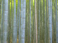 Bamboo forest in kyoto arashiyama area japan Stock Photos