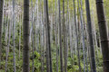 Bamboo forest lives in south china shown as vital shape and green or environment concept Royalty Free Stock Photography