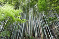 Bamboo forest lush in japan Stock Photo