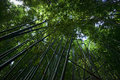 Bamboo Forest on Maui Stock Photography