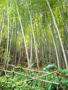 Bamboo forest protected by barrier of tall green trees a wooden itself made of bamboos bright leaves in the background thanks to Royalty Free Stock Photography