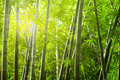 Bamboo forest with ray of lights Royalty Free Stock Photography