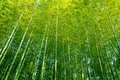 Bamboo forest tall trees China looking up into canopy Royalty Free Stock Photo