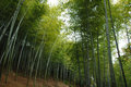 Bamboo forest texture in asia Stock Photography