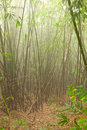 Bamboo forest thicket in tak province in northwestern thailand Stock Image