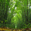 Bamboo forest trees background inside tropical jungle Royalty Free Stock Photography