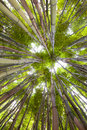 Bamboo forest tropical exotic green background Royalty Free Stock Photo