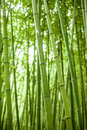 Bamboo forest a very lush and green Royalty Free Stock Photo